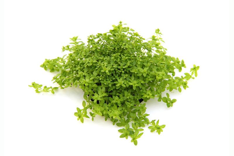 Perlenkraut, Micranthemum umbrosum, Topf