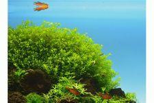 Perlenkraut, Micranthemum umbrosum, Topf – Bild 5