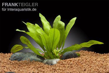 Riesenschwertpflanze, Echinodorus martii, Topf