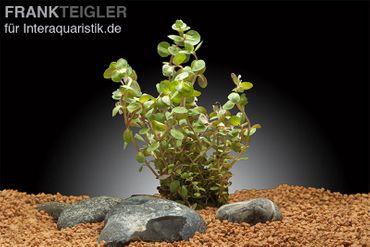 Rundblättrige Rotala, Rotala rotundifolia, Topf