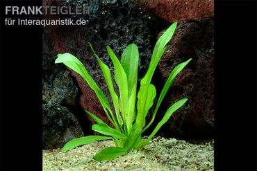Schwarze Amazonaspflanze, Echinodorus parviflorus, Topf