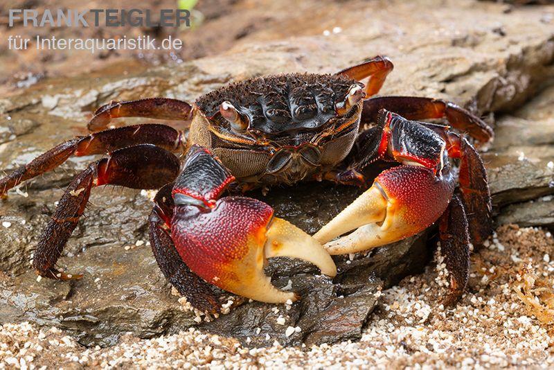 Spider Crab, Neosarmatium meinerti