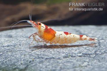 Red Bee Hinomaru Garnele, Caridina cf. cantonensis