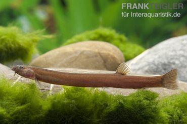 Zimtfarbenes Dornauge, Pangio pangia