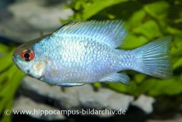 Schmetterlingsbuntbarsch Electric Blue, Mikrogeophagus ramirezi, DNZ