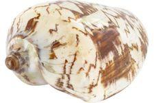Schneckenhaus Porcelain Shell, ca. 14 cm Länge