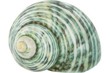 Schneckenhaus Green Stripe Shell, ca. 6 cm Länge