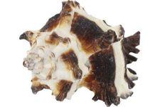 Schneckenhaus Zebra Shell, ca. 5 cm Länge