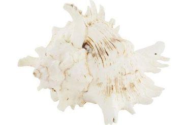 Schneckenhaus Horn Shell, ca. 15 cm Länge