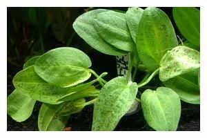 Schlüters Froschlöffel, Echinodorus schlueteri, XL-Pflanze