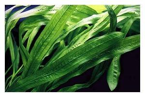Uruguay-Schwertpflanze, Echinodorus uruguayensis, XL-Pflanze