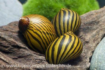 Zebra-Rennschnecke, Neritina natalensis