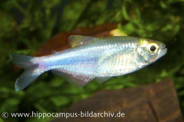 Blauer Perusalmler, Boehlkea fredcochui