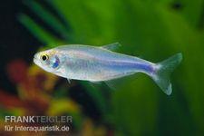 Blauer Perusalmler, Boehlkea fredcochui – Bild 2