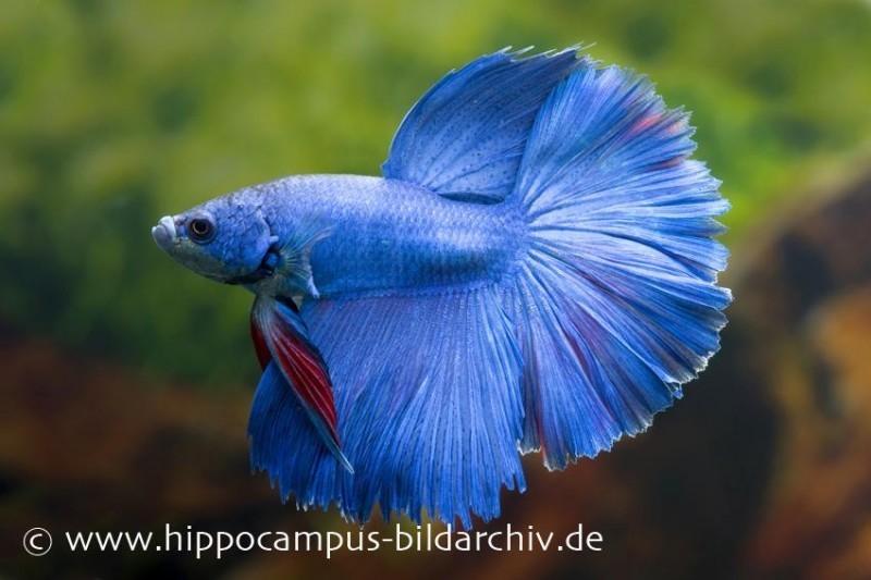 Halfmoon Kampffisch blau, Männchen, Betta splendens