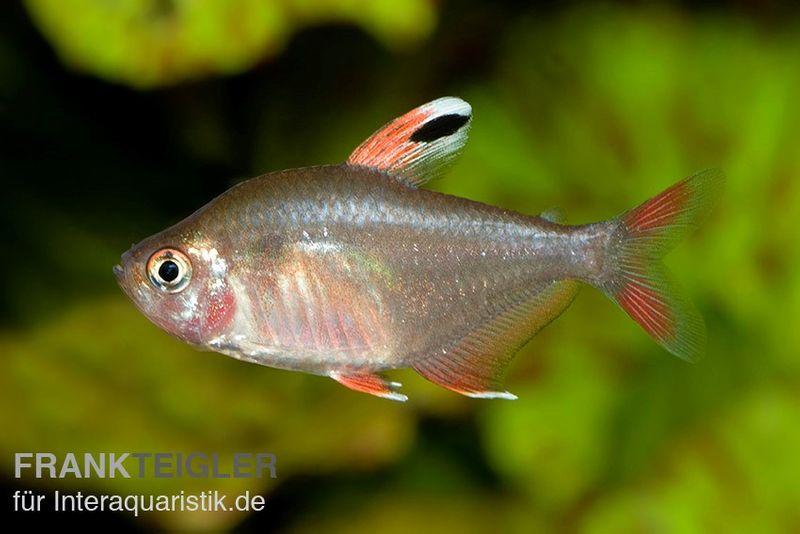 Schmucksalmler hyphessobrycon bentosi tiere zierfische for Gartenteichfische arten