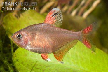 Schmucksalmler, Hyphessobrycon bentosi – Bild 1
