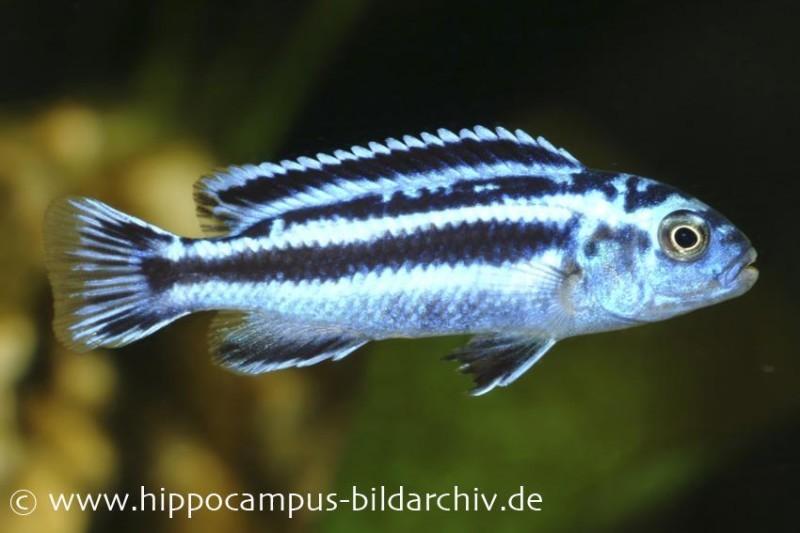 Blauer Johanni, Melanochromis maingano, DNZ