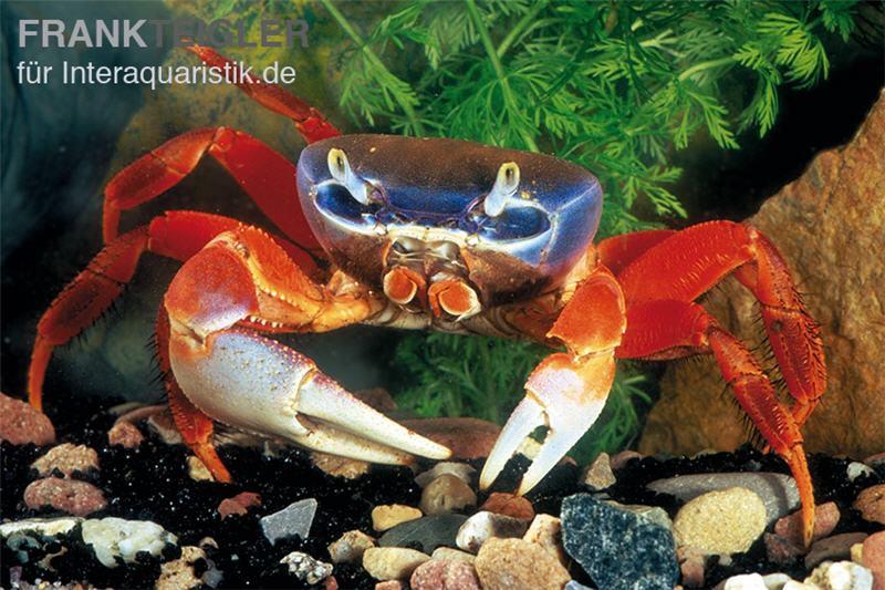Harlekinkrabbe cardisoma armatum tiere krabben for Gartenteichfische arten