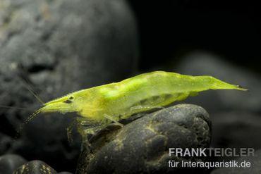 Grüne Zwerggarnele, Neocaridina babaulti – Bild 2