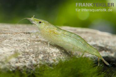 Grüne Zwerggarnele, Neocaridina babaulti