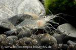 Glasgarnele, Macrobrachium lanchesteri 001