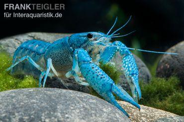 Blauer Floridakrebs, Procambarus alleni