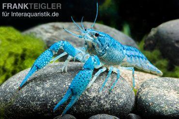 Blauer Floridakrebs, Procambarus alleni – Bild 2