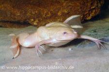 Krallenfrosch 'Albino', Xenopus laevis