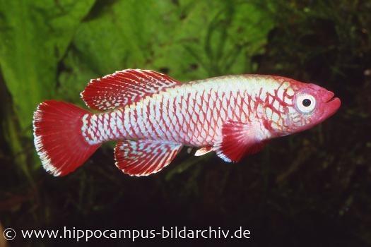 Killifisch Torfansatz Nothobranchius eggersi red, 30 Eier