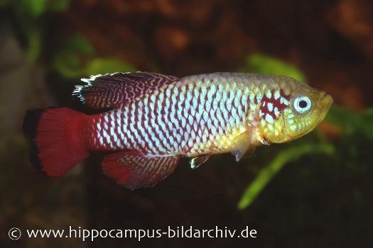 Killifisch Torfansatz Nothobranchius guentheri red, 30 Eier
