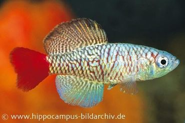 Killifisch Torfansatz Nothobranchius orthonotus, 30 Eier
