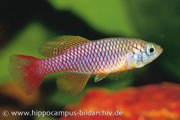 Killifisch Torfansatz Nothobranchius patrizii, 30 Eier