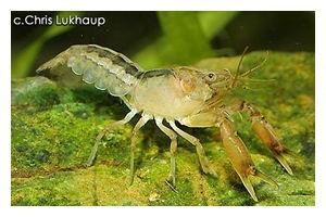 Gestreifter Zwergflusskrebs, Cambarellus patzcuarensis