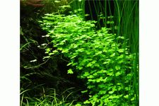 Hydrocotyle cf. tripartita (H. sp. 'Japan'), Topf – Bild 2