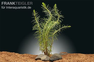 Feines Tausendblatt, Myriophyllum propinum, Bund – Bild 1