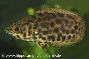 Leopard-Buschfisch, Ctenopoma acutirostre, 3-4 cm