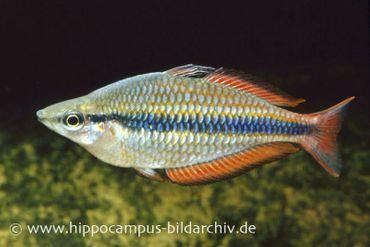 Juwelen-Regenbogenfisch, Melanotaenia trifasciata
