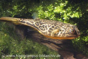 Goldringelkugelfisch, Tetraodon mbu, 6-8 cm (Rarität)