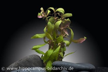 Mini Papageienblatt, Alternanthera reineckii Mini, Topf