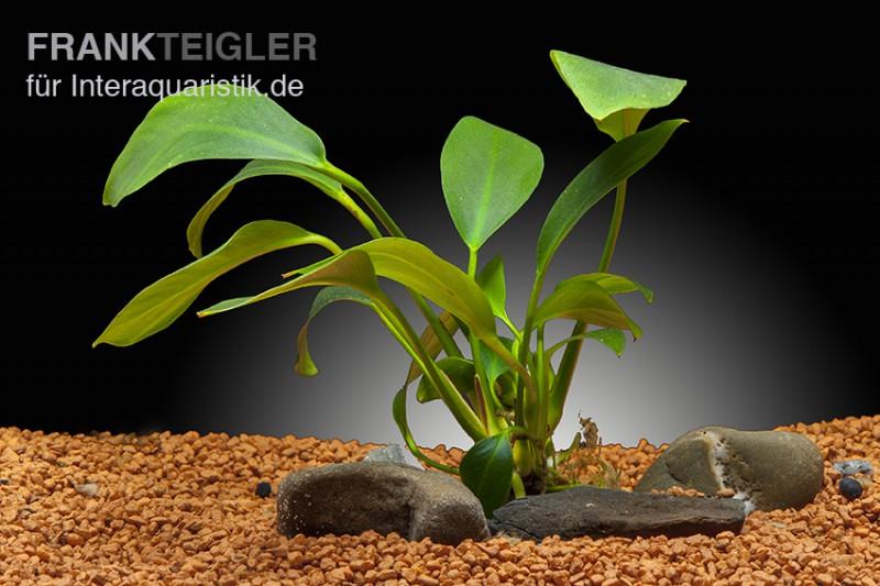 Spießblättriges Speerblatt, Anubias hastifolia, XXL-Pflanze