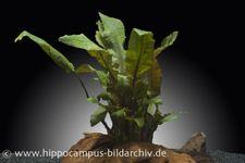 Brauner Wasserkelch, Cryptocoryne wendtii braun, Topf