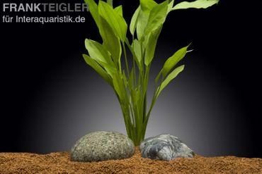 Argentinischer Froschlöffel, Echinodorus argentinensis, XXL-Pflanze