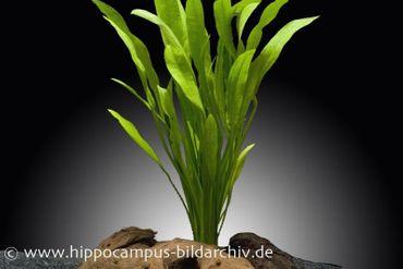 Amazonasschwertpflanze, Echinodorus grisebachii Amazonicus, Topf