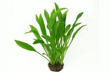 Amazonasschwertpflanze, Echinodorus grisebachii Amazonicus, Topf – Bild 2