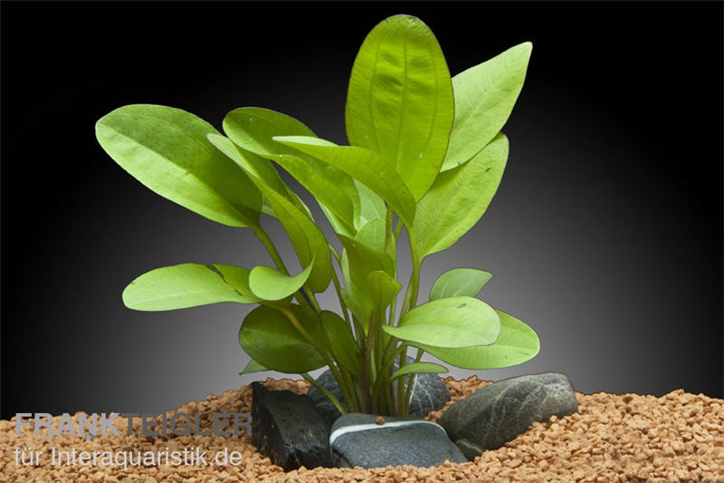 Echinodorus Kleiner Bär, XL-Pflanze (Dschungelstar 2)