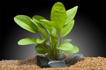 Echinodorus Kleiner Bär, XXL-Pflanze