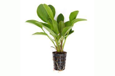 Echinodorus Kleiner Bär, XXL-Pflanze – Bild 2