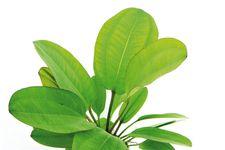Echinodorus Kleiner Bär, XXL-Pflanze – Bild 4