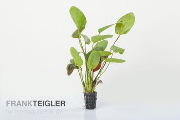 Ozelot-Schwertpflanze, Echinodorus sp., XL-Pflanze